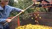 L'heure de la récolte des pommes à cidre