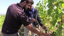 Vendanges à Buzet : les satellites au service des vignerons