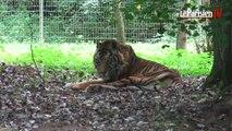Le plus vieux tigre de Sumatra fête ses 24 ans au Parc des félins