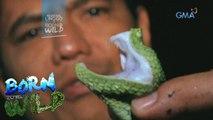 Born to be Wild: Philippine Pit Viper, kikilalanin ni Doc Nielsen