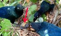 Ai mà ngờ loài chim cu đen thui này lại có hành vi bỉ ổi chẳng thua kém gì loài tu hú