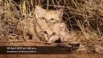Des chatons sauvages des sables filmés pour la première fois