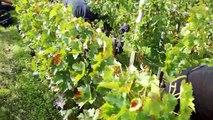 Gironde : Vendanges à Gruaud Larose dans le Médoc