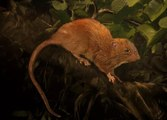 Bilim Adamları, 80 Yıl Sonra İlk Kez Bir Sıçan Türü Keşfetti