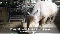 Présentation d'un bébé rhinocéros blanc au zoo de Singapour