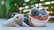 British Shorthair kittens meowing so cute! real sound