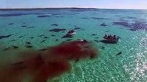 Des centaines de requins dévorent une baleine vivante