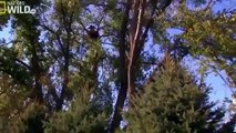 American Bald Eagle Flying, Hunting, Eating [Nature/Wildlife Documentary]