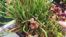 WINTER DORMANCY FOR SARRACENIA PITCHER PLANTS AND VENUS FLY TRAP CARNIVOROUS PLANTS
