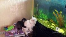 Cette loutre embête un chat prêt à bondir dans l'aquarium !
