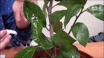 Насекомые вредители Щитовка на комнатных цветах. Сайт Садовый мир