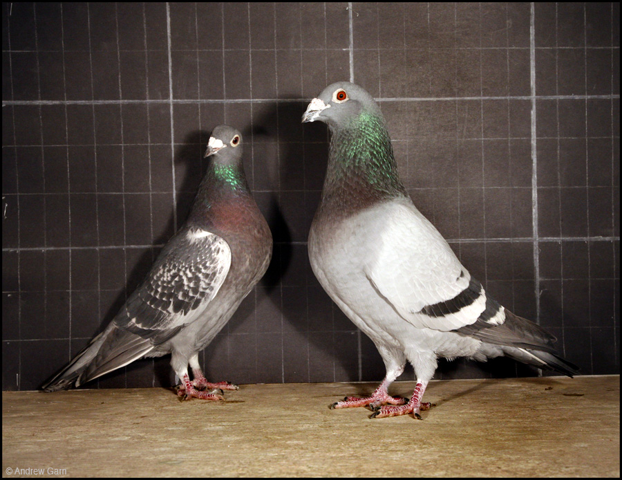 Racing pigeon training and daily activities