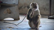 Slave macaques saved by wildlife foundation