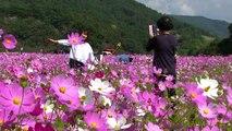 가을꽃의 향연   전국 나들이 명소 북적   YTN