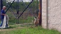 2 héros libèrent un cerf pris au piège dans une clôture en métal !