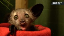 ¡Mírame a los ojos! Conoce a `Ágatha Christie´, un adorable lémur