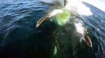 Ce dauphin joue à sauter devant la proue d'un bateau... Images magnifiques