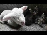 Baby Lamb Relaxes With Kittens