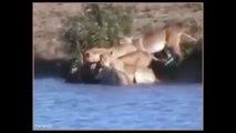 VIVER OU MORRER - Búfalo vs Leão vs Crocodilo [O salvamento do Bufalinho]