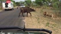 Dangerous lions attacks on a buffalo   Very dangerous fight  