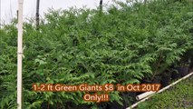 Special Sale on Potted Green Giants   Just $8 in Oct 2017      1-2 ft tall plants   Lots of trees available