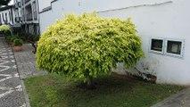 Benjaminsfeige - Ficus benjamina - als Hochstamm gezogen