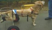Voiturette pour chiens (handicapés) ( paralysés )