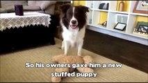Désemparé depuis la mort de son ami, ce chien avait perdu goût à la vie, mais son maître lui fait un cadeau qui changera