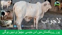 691 || Amazing Qurbani cow || 2018 || 2019 || Karachi Sohrab Goth || Bakra eid in Karachi Pakistan