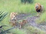 Ces adorables lionceaux essayent de rugir comme leur papa