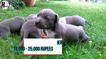 American PitBull Terrier VS American Staffordshire Terrier | COMPARISON | DOG VS DOG