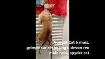 Nougat Cat 6 mois, grimpe sur le sèche serviette, devon rex male roux, spyder cat