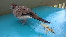 Quand un oiseau est accro aux caresses d'un humain - Animal Buzz video