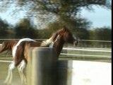Randy Deltas Olena étalon Paint Horse