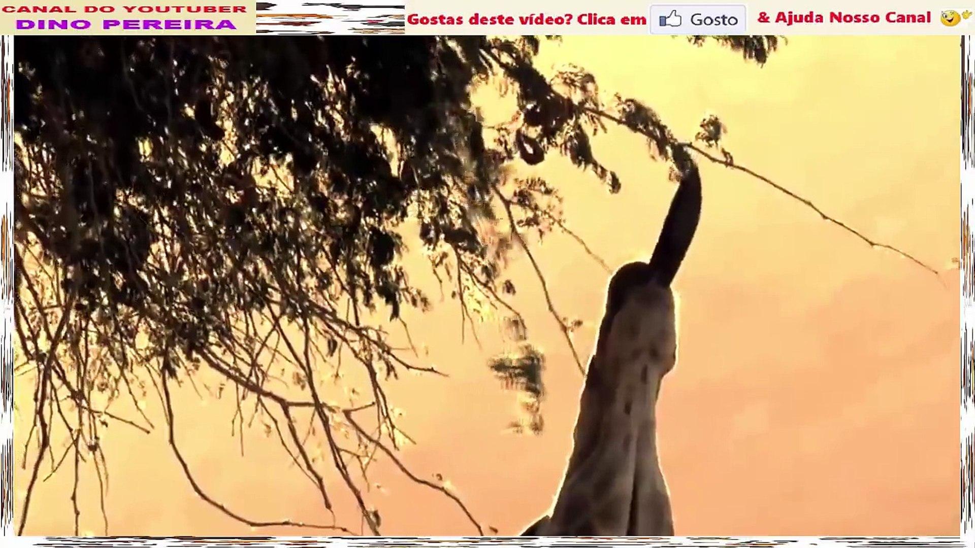 Girafas Em Lutas E Confrontos