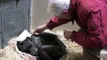Jan van Hooff visite le chimpanzé Mama, âgé de 59 ans et très malade. Une rencontre émouvante.