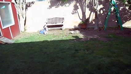 Un homme rentre du travail et son iguane apprivoisé le salue comme un chien.