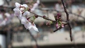 Tokyo's Top Cherry Blossom Spots