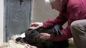 The Amazing Moment A Dying Chimpanzee Recognizes Her First Friend