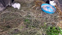 Кролики после 20 - ти дней от окрола: уход и кормление