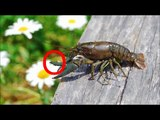 General Crayfish Care,Keeping Crayfish with other fish DIY LINK IN DESCRIPTIO