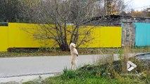 Ce chien tient debout sur ses 2 pattes arrières et marche !