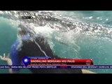 Tantang Keberanianmu dengen Snorkling Bersama Hiu paus di Derawan - NET24