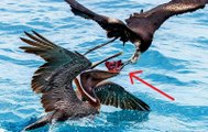 Hết sức kỳ lạ với loài chim kiếm mồi bằng cách móc thức ăn từ mỏ của loài chim khác