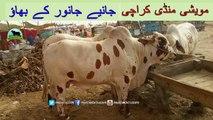 724 || cow mandi 2018/2019 Karachi Sohrab Goth || Avg range qurbani Bull