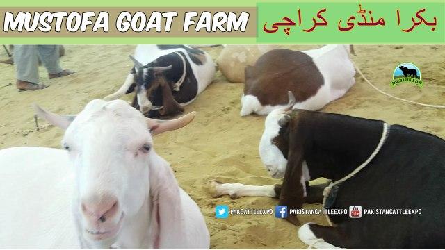 728 || Bakra Mandi 2018/2019 || Goat Farming in Pakistan