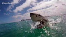 Great white shark breaches right in front of camera