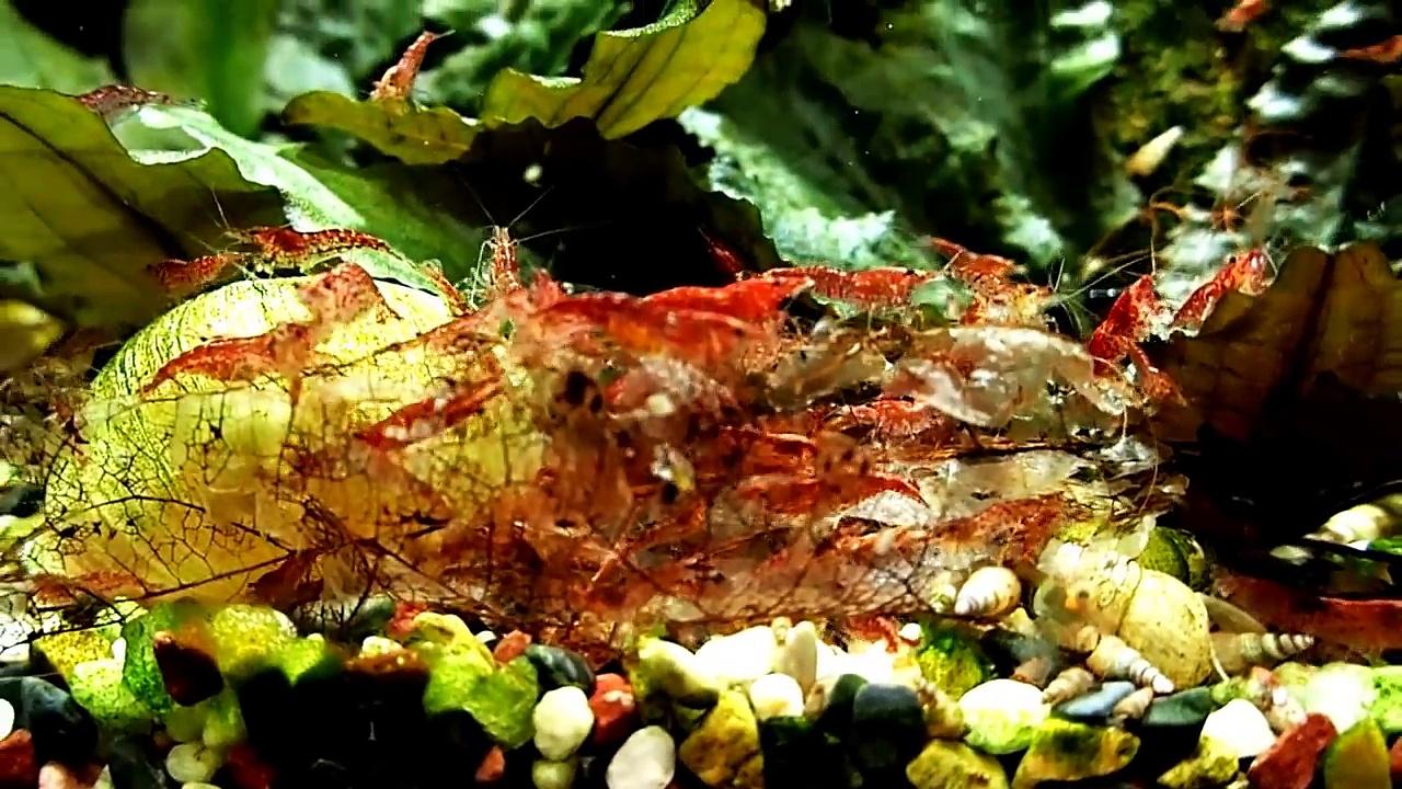 Shrimp Tank Leaves