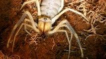 Voici une araignée Chameau ou camel Spider... Insecte terrifiant