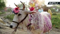 Moo-ve Out the Way! Indian Villagers Trampled by Cows in Udderly Bizarre Ritual